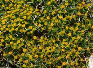 euphorbia_acanthothamnos-3large