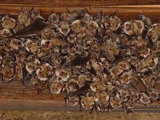 225px-Myotis_myotis,_nursery_roost