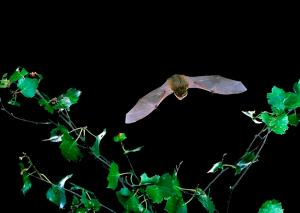 CommonPipistrelle.3
