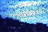 swarming__poss._se_asia_hughclark
