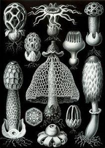 250px-Haeckel_Basimycetes