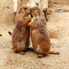 220px-Kissing_Prairie_dog_edit_3