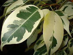 250px-Ficus.Benjamina.Chimera