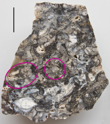 220px-Rhynie_chert_with_Horneophyton_1