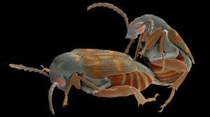 z3300306-weevils_mating_crop-mr_1-1