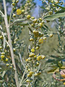 220px-Artemisia_absinthium_0002