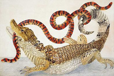 Illustration_of_a_Caiman_crocodilus_and_an_Anilius_scytale_(1701–1705)_by_Maria_Sibylla_Merian.jpg