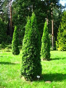 220px-Podlaskie_-_Suprasl_-_Kopna_Gora_-_Arboretum_-_Thuja_occidentalis_'Smaragd'_-_plant.JPG