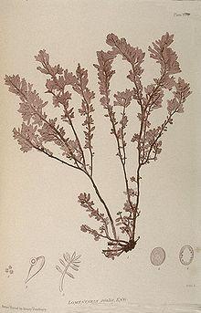 220px-Nature_print_(Bradbury).jpg