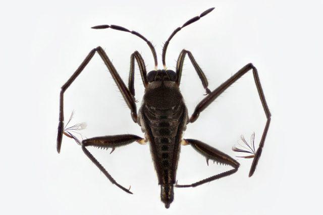 Hemiptera-Veliidae-Rhagovelia-Dorsal_LRv-1720x1146.jpg